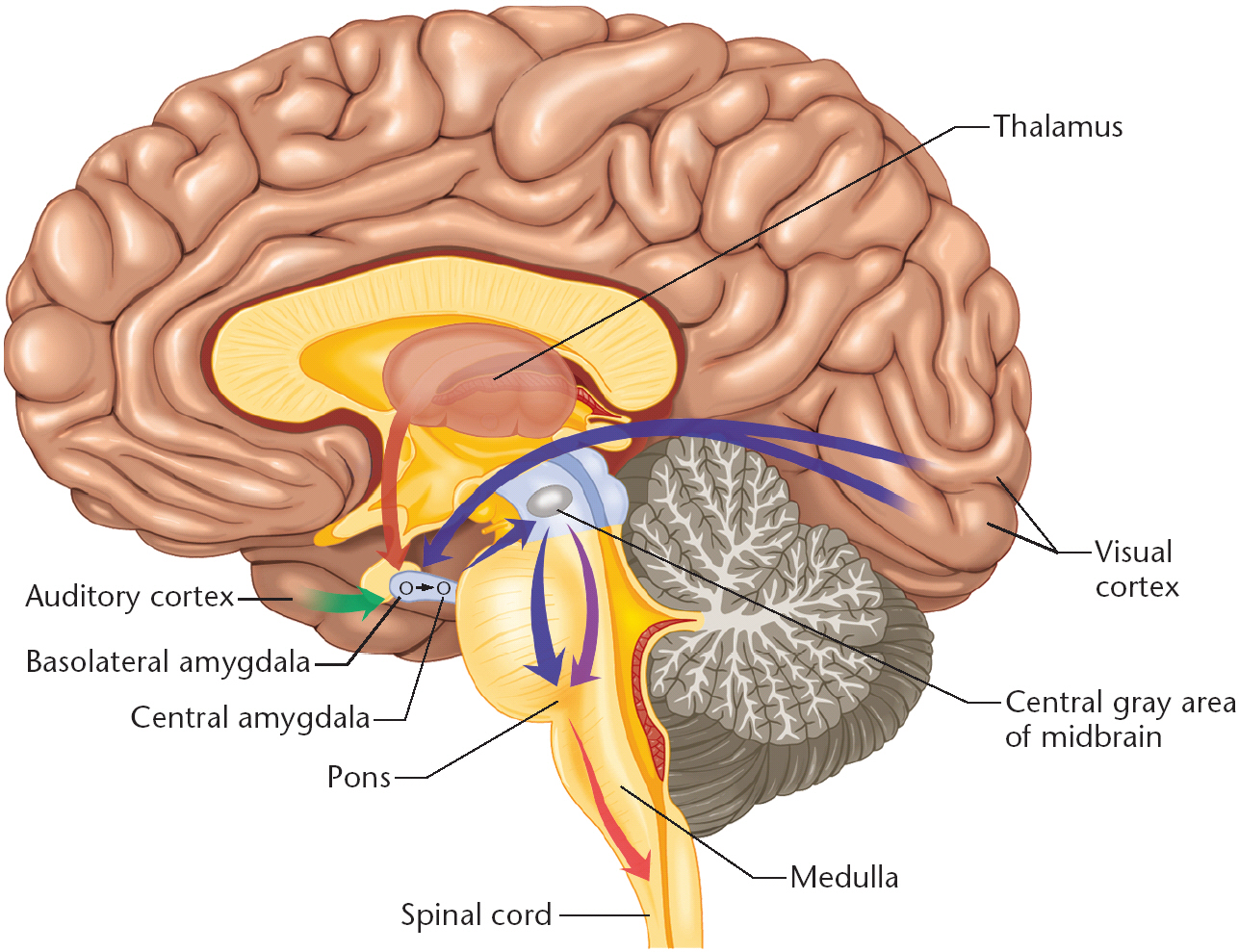Brain diagram amygdala